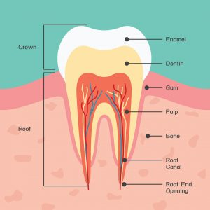 an in-depth diagram of a tooth